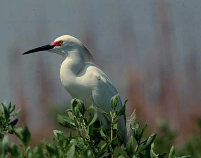 A snowy egret is perched at the top of a tree. It has a long, dark beak, and a curved neck.