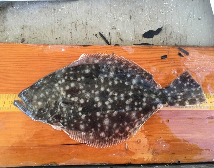 A southern flounder on a ruler. It is a flat, oval-shaped fish with spots.