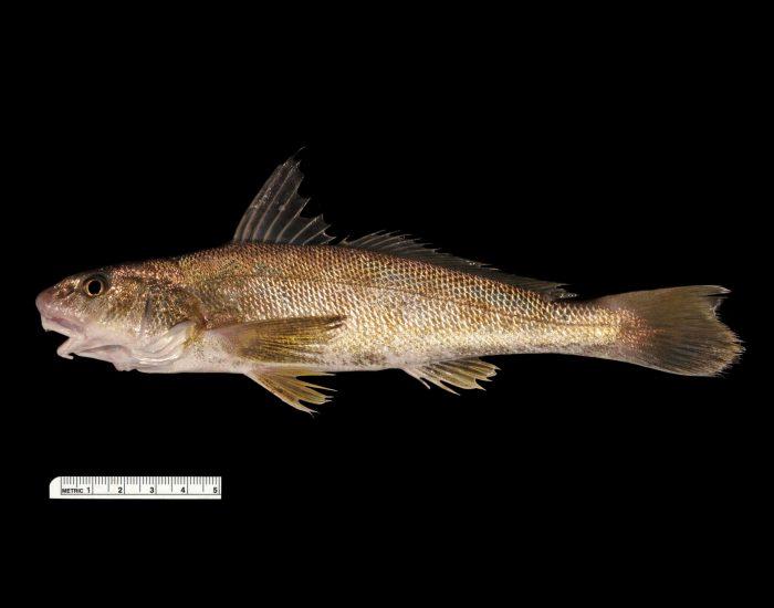 Southern kingfish.