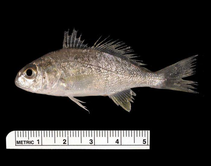 A spot fish.