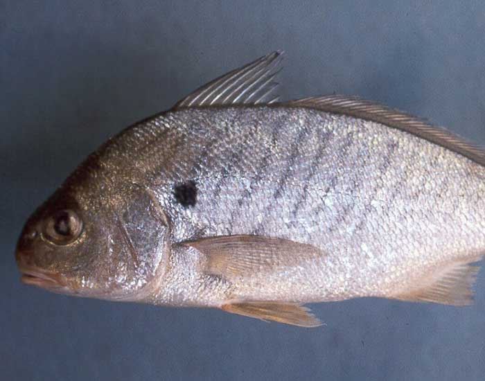 A spot fish. It has a small spot on its body.