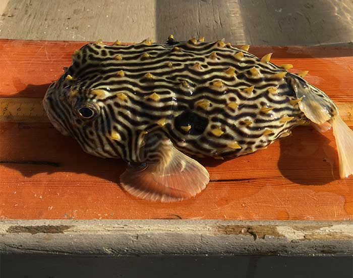 Striped burrfish on a measuring tape. It is a round fish with horn-like protrusions.