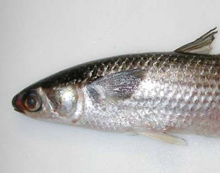Striped mullet fish.