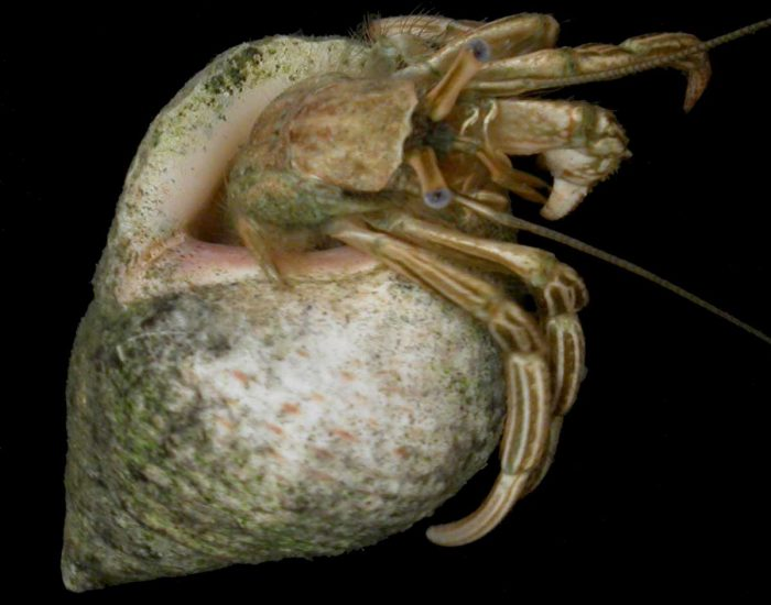 A thinstripe hermit crab with its body extended out of its shell.