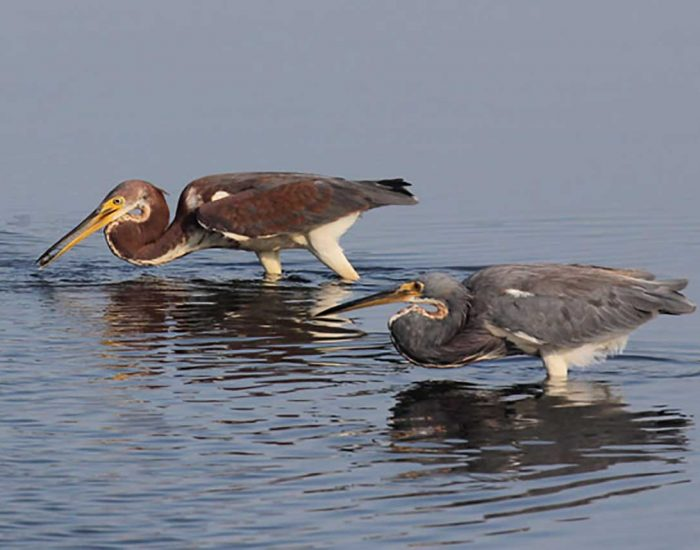 Male and female tricolored herons wading in water. They have curved necks and long bills.