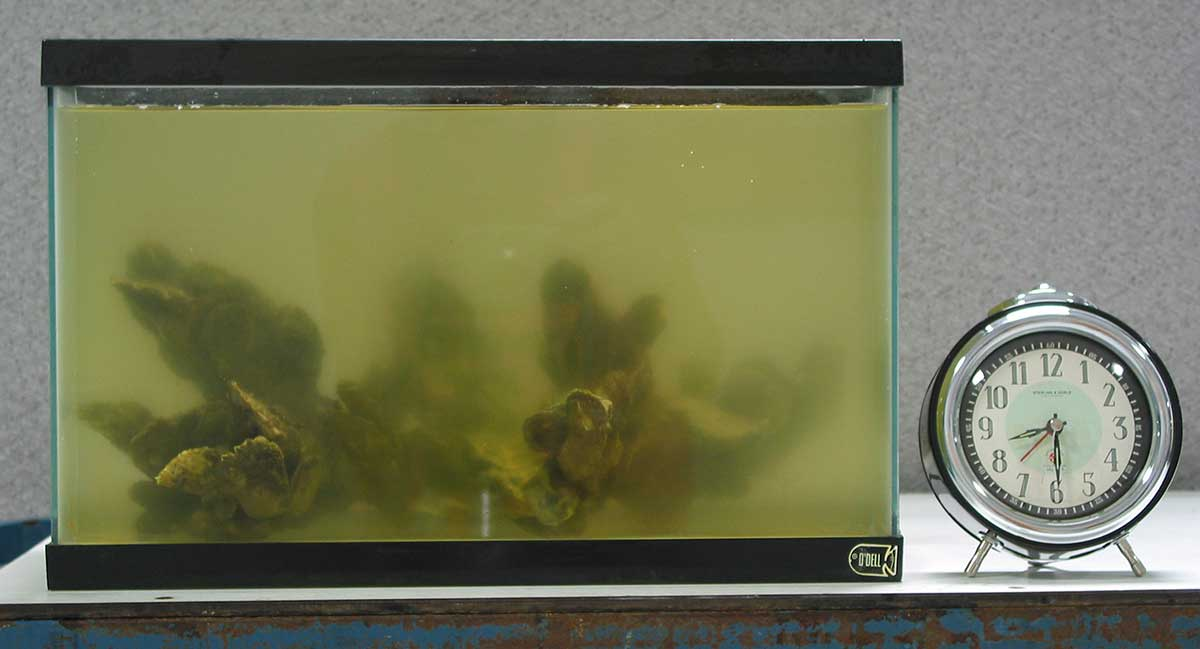A clump of oysters in an aquarium with extremely cloudy water. A timer to the side reads 8:30.