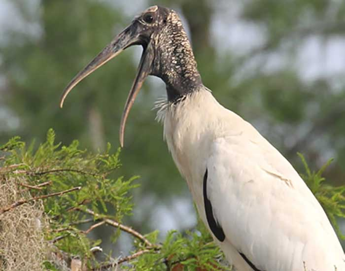 A wood stork with an open mouth is perching in a tree.